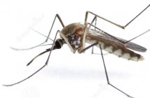 insect-mosquito-14365081