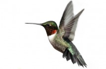 Hummingbird-Ruby-Throat